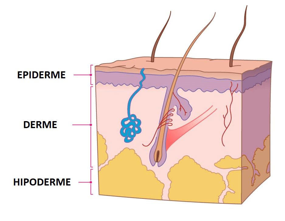 A nossa pele tem 3 camadas (epiderme, derme, hipoderme): Saiba mais sobre cada uma delas