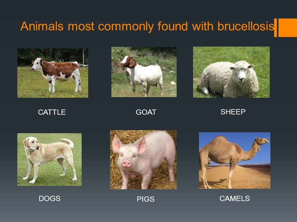 Causas de brucelose, contato com alguns animais de pasto como ovelhas, cabras e vacas.