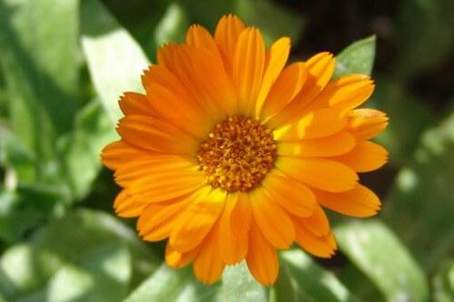 Remédio Caseiro para Feridas: Chá de Pétalas de Calêndula