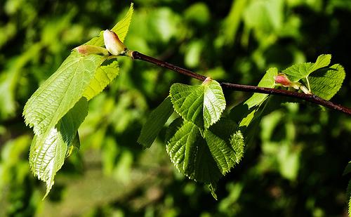 Chá de Tília – Tilia platyphylla