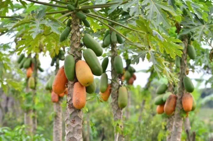 papaieira a árvore do mamão, papaia
