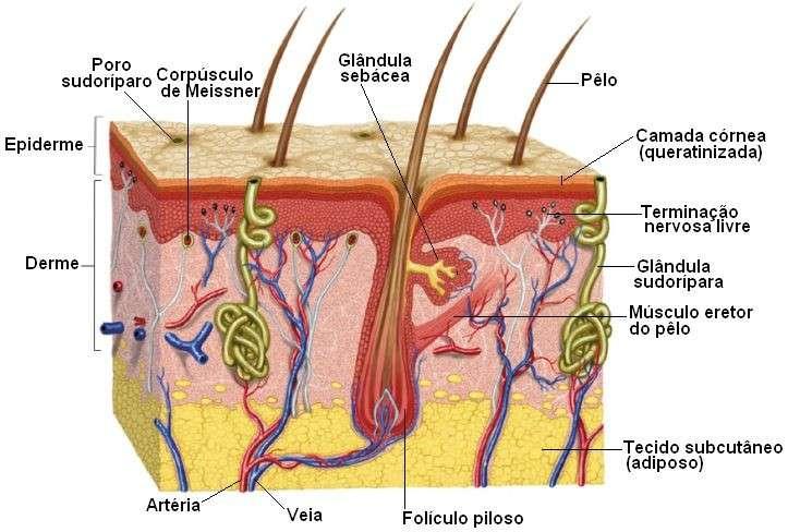 Glândulas da Pele