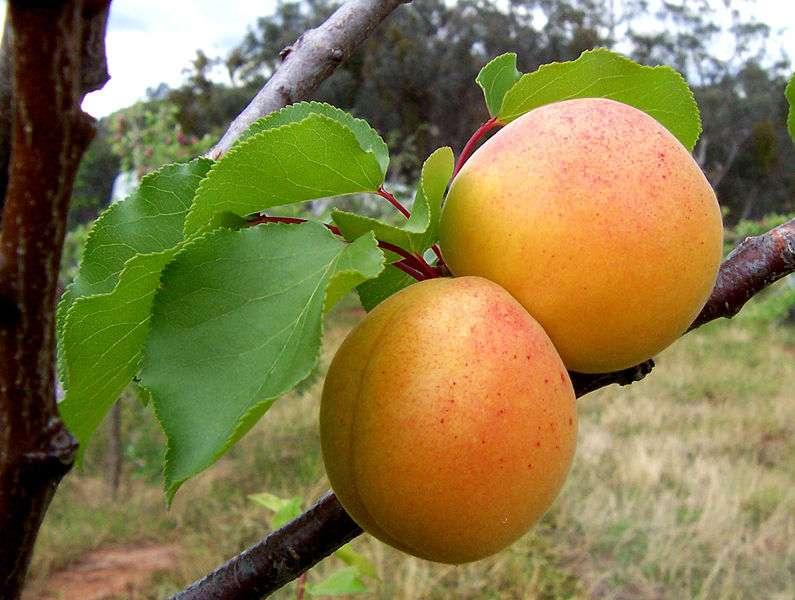 Damasco: Fruto Maravilhoso