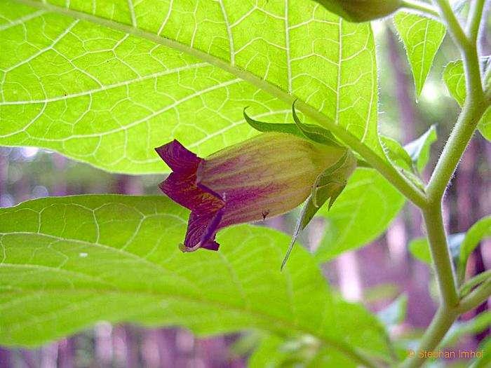 Atropa bella-donna (Solanaceae); Tollkirsche