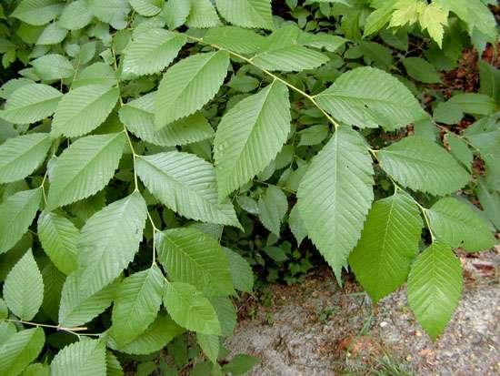 Folhas de Ulmus rubra, Ruibarbo indiano