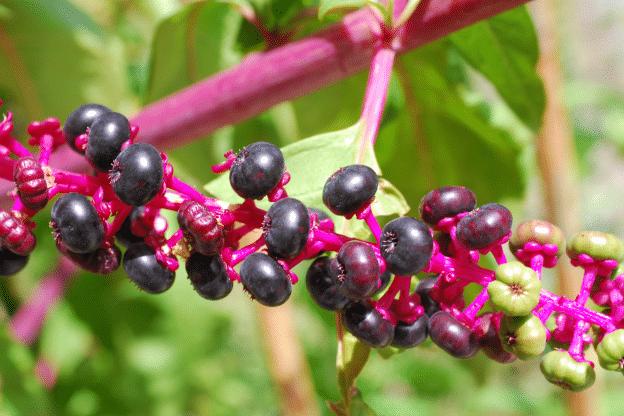 Phytolacca