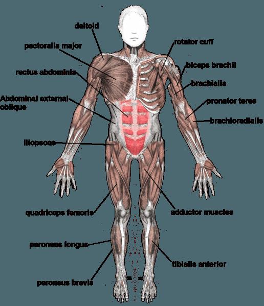 Rotura Muscular (rasgão devido a estiramento do músculo)
