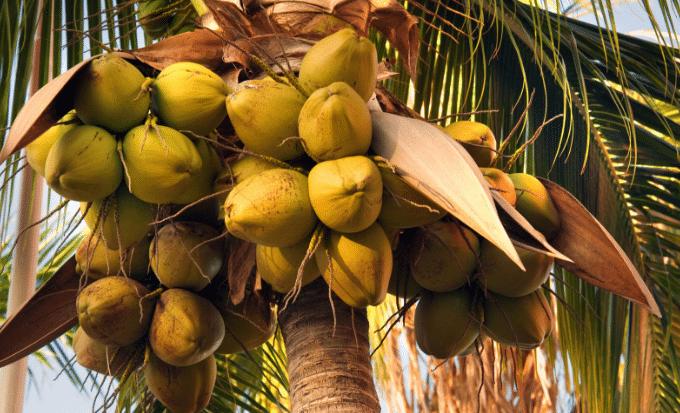 Coco Da India Cocos Nucifera