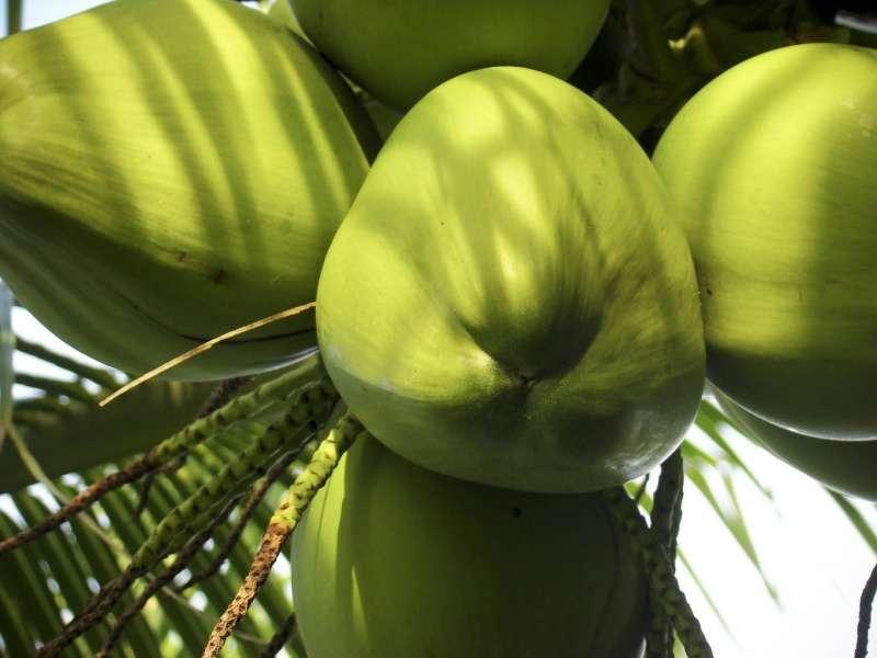 Coco: Tipos e Variedades