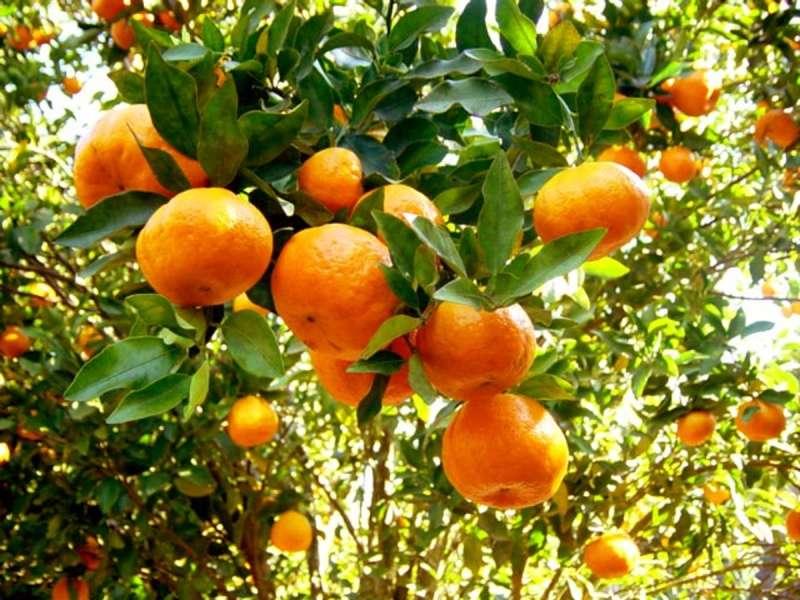 Tangerineira (árvore, planta da tangerina)