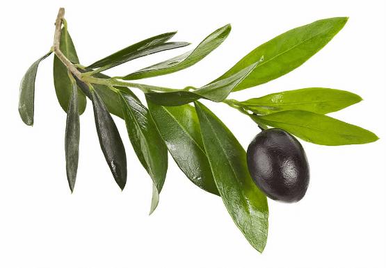 folhas-de-oliveira
