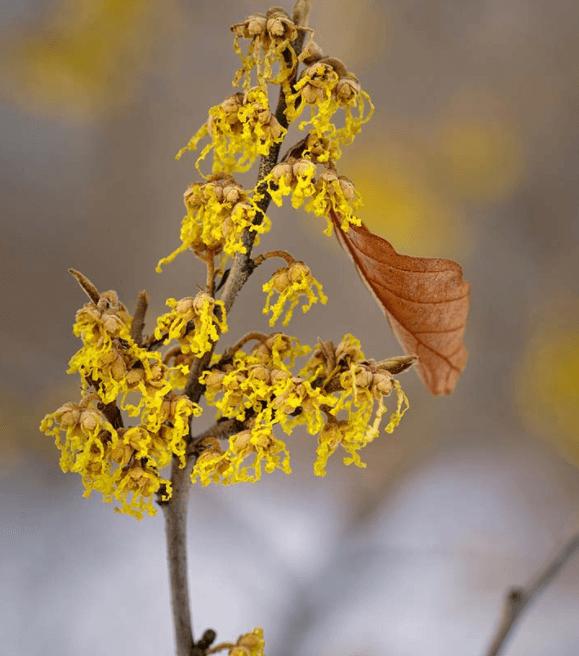 9 Benefícios Da Hamamélis Para A Saúde