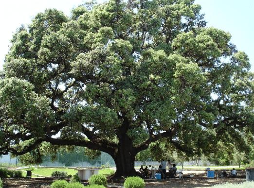 Azinheira Quercus ilex L