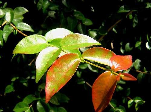 Remédio caseiro anti-inflamatório: Chá de Pitanga