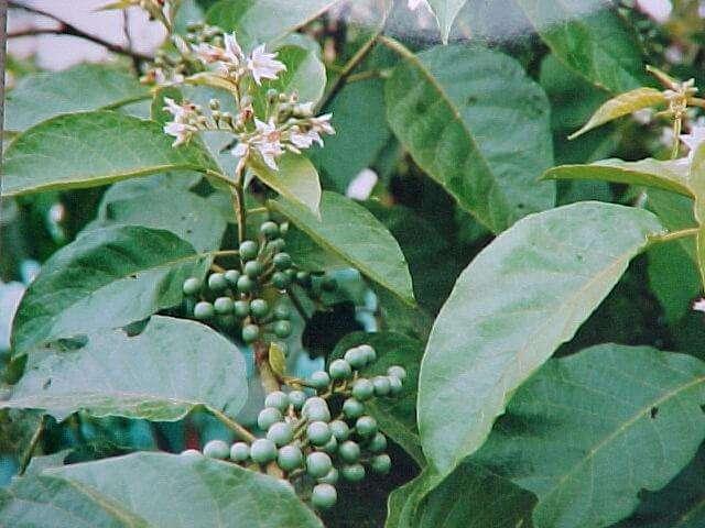 Solução caseira para Abscesso: raízes de jurubeba, cebola, mandíoca, mel