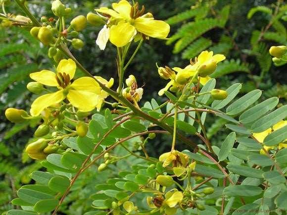 Cassia angustifolia, nome binomial