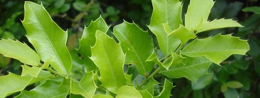 Espinheira-Santa (Maytenus ilicifolia)