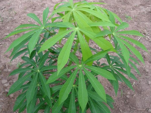Planta da mandioca