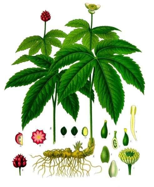 planta medicinal hidraste