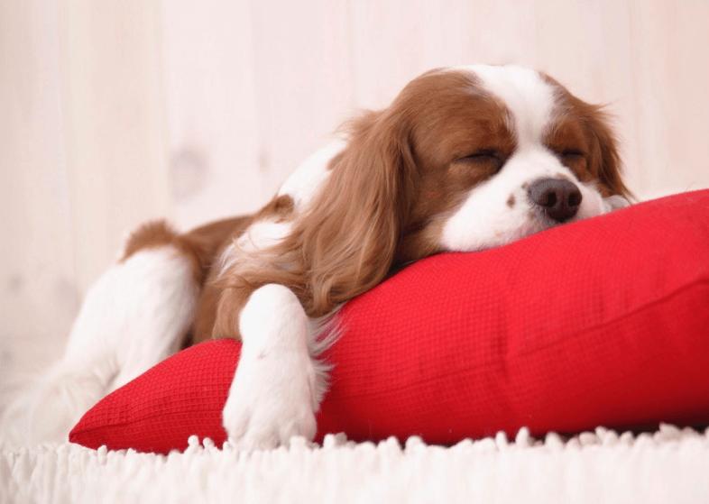 Alergia a Cachorro