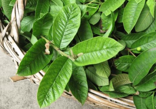 Folhas Para Chá De Goiabeira