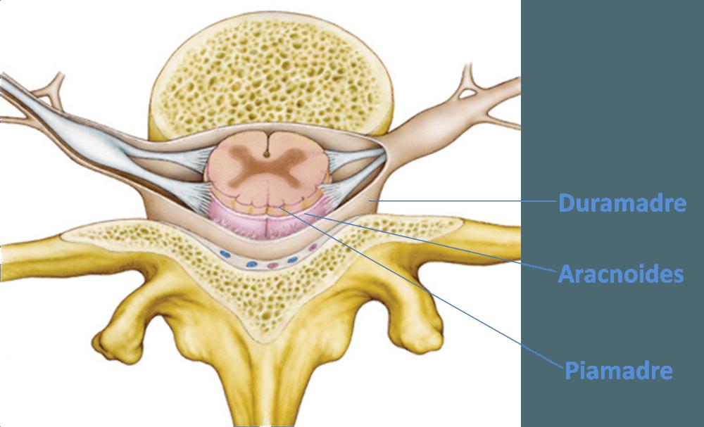 Anatomia normal da coluna vertebral, medula espinhal e estruturas envolventes