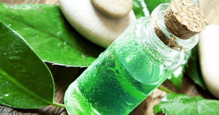 óleo essencial de árvore do chá, Melaleuca alternifolia