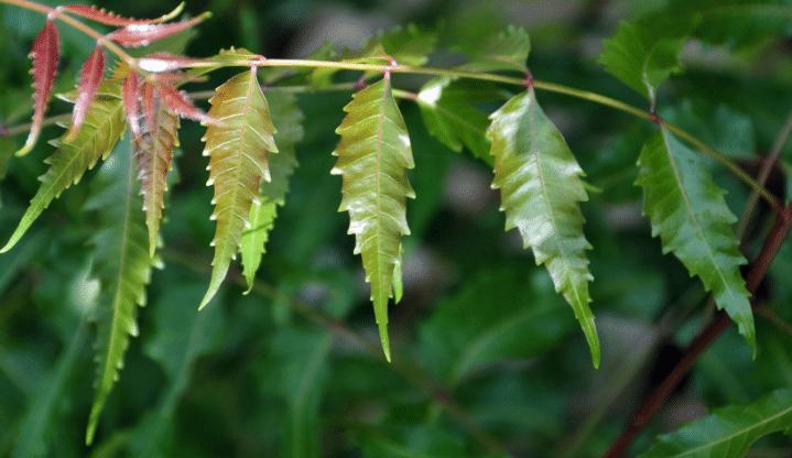 Folhas da planta medicinal Azadirachta indica, Neem