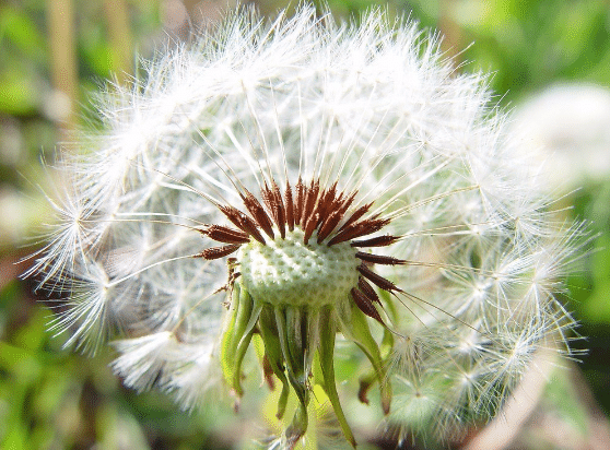 dente-de-leao-taraxacum-officinale