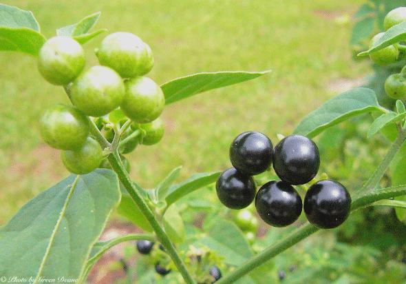 erva-moura-solanum-americanum
