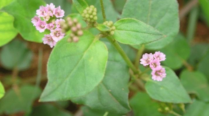 erva-tostao-boerhavia-diffusa-em-po