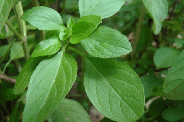 Folhas de manjericão