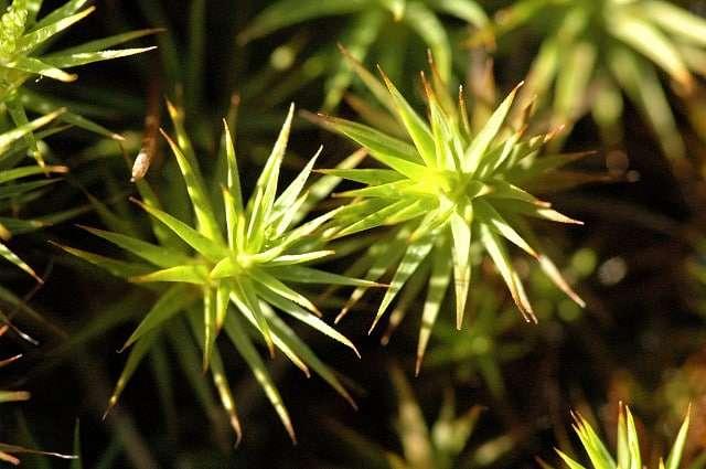 musgao-musgo-do-zimbro-polytrichum-juniperinum
