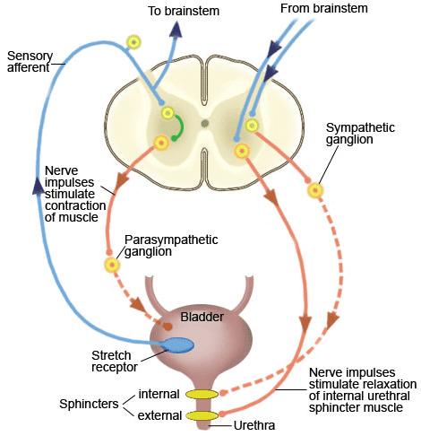 Neurofisiologia e o reflexo da micção