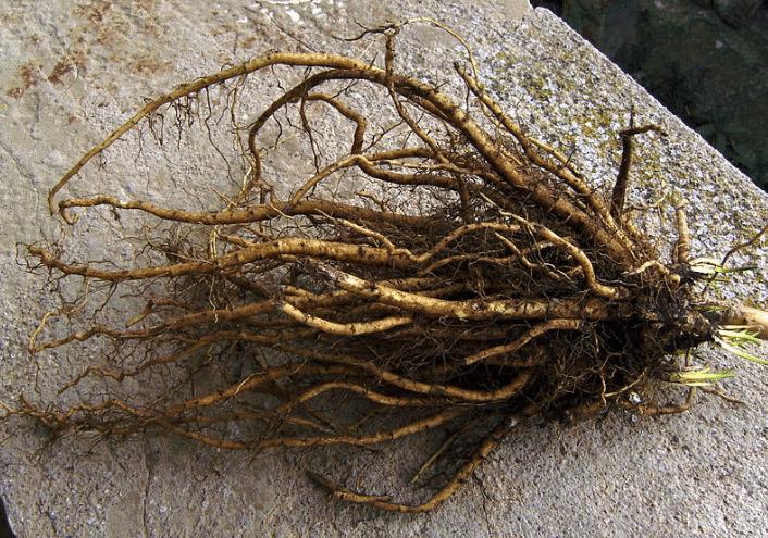 Raiz de altéia, Althaea officinalis