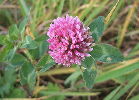 trevo-vermelho-trifolium-pratense