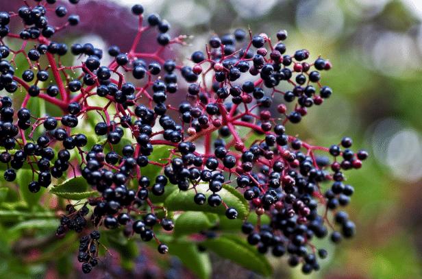 sabugueiro-sambucus-nigra
