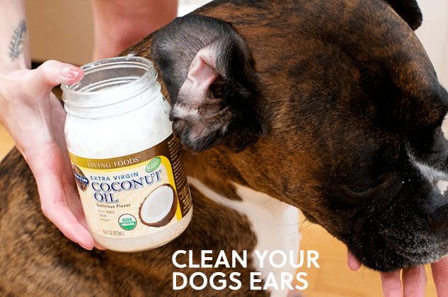 limpar-as-orelhas-do-cachorro-com-oleo-de-coco