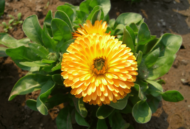 planta-calendula