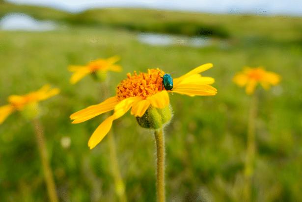 Foto De Planta Arnica Montana
