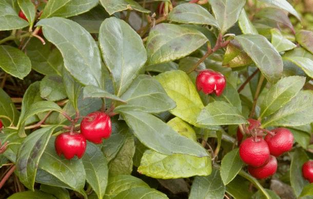 Gualtéria, Gaultheria Procumbens