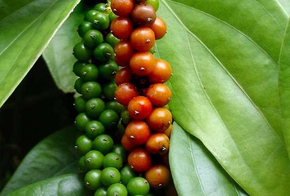 Imagem Da Planta Da Pimenta Preta
