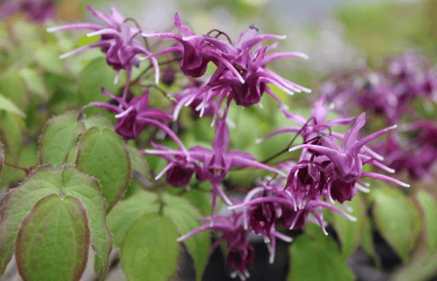 Foto Da Planta Epimedium (Epimedium Grandiflorum)