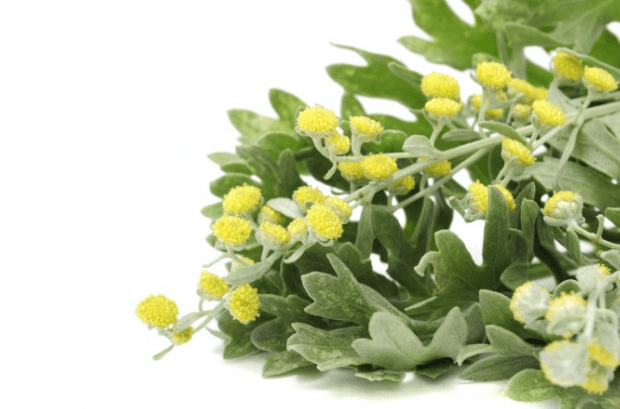 Sabia Que O Absinto (Artemisia Absinthium), Artemísia, Losna E Sintro Induzir O Aborto