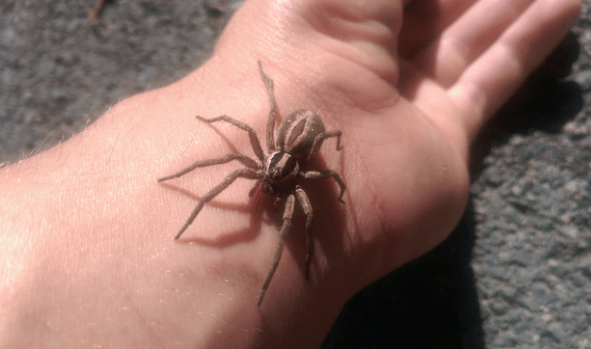 Aranha Hobo (Tegenaria Agrestis)