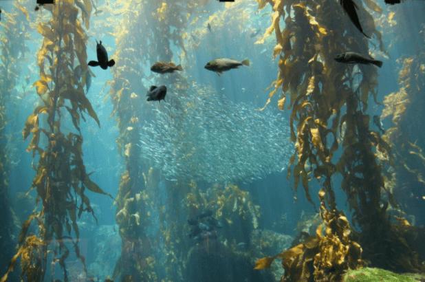 Kelp: Conheça os Benefícios Anti-inflamatórios, e a Riqueza em Iodo deste Vegetal Marinho