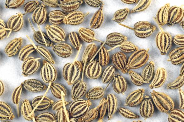 Sementes Ajowan (Trachyspermum Ami)