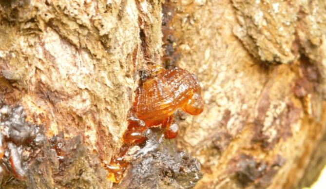 Resina Da árvore Boswellia Serrata