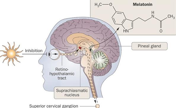 A Glândula Pineal é Responsável Pela Libertação De Melatonina (a Hormona Que Induz O Sono)