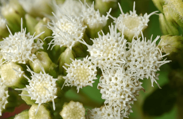 Ageratina Pichinchensis